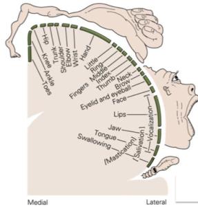 cortico homunculus 2
